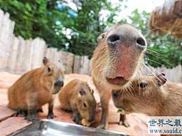 世界上最大的老鼠 身体能长130厘米 重100公斤
