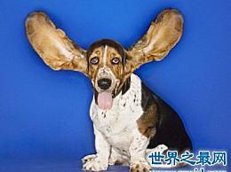 与其可爱和可爱的外表相反 极其凶猛的猎犬 巴吉多猎犬