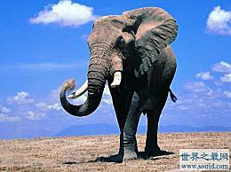 世界上最大的大象 相当于9辆车