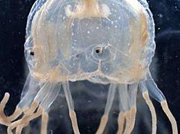 世界上第一种进化出眼睛的动物 箱形水母有24只眼睛