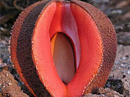 非洲白鹭花是寄生植物 看起来很奇怪 很臭