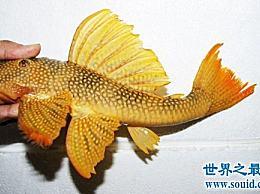 24K金达摩是什么鱼?让我们一起去了解他们!