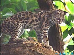 美国最小的猫 南美胡林猫不到半米长