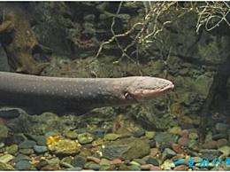 世界上放电能力最强的鱼 电鳗可以输出高达800伏