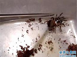 金钱瓣蜘蛛 中国最早记录的蜘蛛之一 只有6只蜘蛛