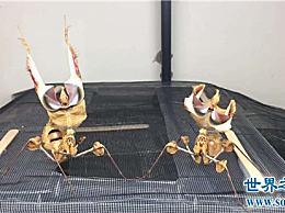 魔花螳螂外观艳丽,体型修长拥有美丽的翅膀