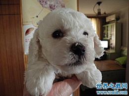 什么样的小狗适合家庭使用?为你的力量推荐一只心地善良的狗!