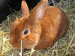 世界十大最受欢迎的兔子品种外表可爱 性格温顺