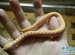 世界上最胆小的蛇 猪鼻子蛇虽然小但是很有表演技巧!