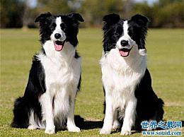 狗的智商排在前十 哈士奇实际上可以排在第七