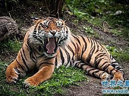 苏门答腊虎世界上最小的老虎很凶猛!