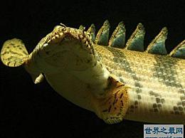 世界上最美丽的恐龙鱼 虎印恐龙王鱼