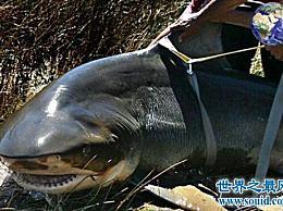 在世界十大最凶猛淡水鱼的名单中 食人鱼仅名列第二