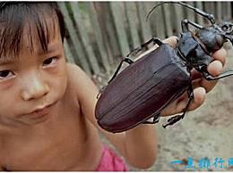 世界上最大的甲虫 泰坦甲虫 身长可达17厘米 成年后不再进食