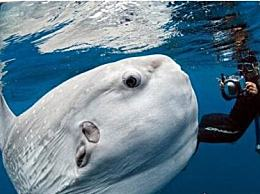 世界上最大的翻车鱼巨型翻车鱼(高达3米/高达3吨)