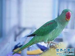 世界上最聪明的鹦鹉 非洲鹦鹉亚历克斯能计算出高情商