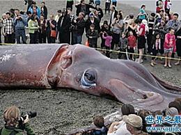 世界上最大的鱿鱼重达900多公斤 只能活一年