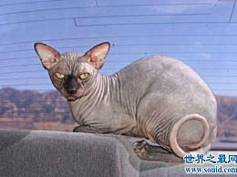 计算世界上最珍贵的猫品种加拿大无毛猫是最珍贵的