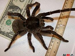 世界上哪种蜘蛛最强大?世界十大最强大的蜘蛛(附照片)