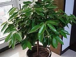 平安树要用什么肥料促进生长(春秋施肥)