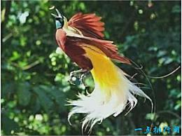 世界上最美的鸟,极乐鸟羽毛缤纷艳丽,堪比孔雀