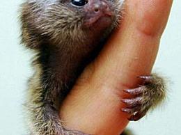 世界上最小的猴子 指的是猴子(体长12厘米 只有人类手指那么长)