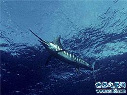 十种最快的海洋动物 金枪鱼可以瞬间到达160公里