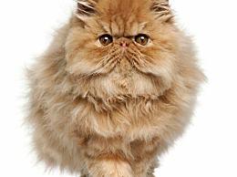 波斯猫 最可爱的宠物猫 比你的女朋友更会撒娇