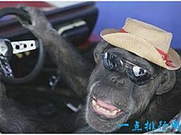 世界上最老的猩猩已经活了80年 并参与了许多电影