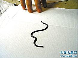 世界上最小的蛇 不是一条蚯蚓吗?