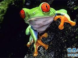 世界十大宠物青蛙排行榜 评估十大青蛙的习惯、特征和禁忌!