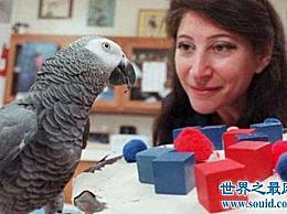 世界上最聪明的鹦鹉 你必须拒绝接受它!