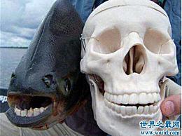 齿鱼吃雄性睾丸 认为睾丸是它们的食物