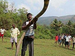 世界上最长的毒蛇 眼镜王蛇近6米长(一口咬死亚洲象)
