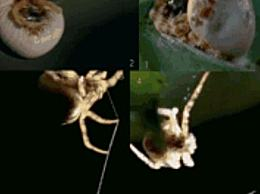 世界上最小的蜘蛛 蜘蛛只有0.43毫米长(不到句号)