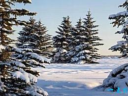 世界上最忠实的树 雪和霜 不能被欺负