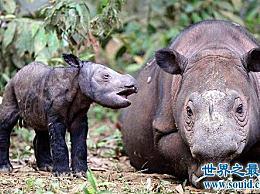世界上最小的犀牛 世界上唯一的双角犀牛!