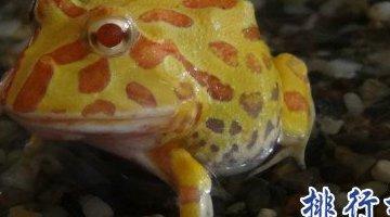 """世界上最""""幸运""""的青蛙 金角蛙(也称为幸运蛙)"""