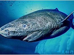 世界上寿命最长的鲨鱼 格陵兰沉睡的鲨鱼可以活到400岁