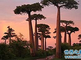 世界上最神奇的树 一棵树 一个家!