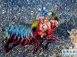 游泳能力最强的虾通过拍打游动的脚来排出泥浆