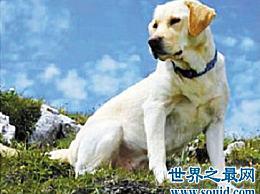 什么是最友好和功能最强的拉布拉多犬