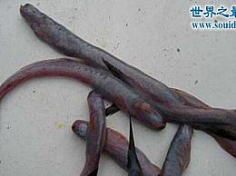 世界上最恶心的鱼 狼牙虾虎鱼(营养丰富 可食用)