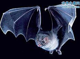 世界上最稀有的蝙蝠 猪脸大蝙蝠(嗜血)