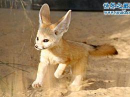 世界上最小的狐狸 超级可爱的有耳朵的狐狸(只有手掌大)