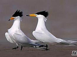 中国最稀有的鸟 中国凤头燕鸥 在世界上不到100只
