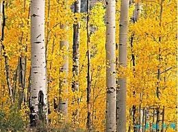 世界上最坚硬的树 铁桦树 对铁墙是坚不可摧的