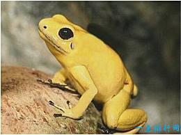 世界上最毒的青蛙 金箭毒蛙能在三分钟内毒死十个成年人