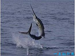 剑鱼 世界上游最快的鱼 以每小时130公里的速度行进