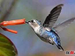 世界上最小的鸟 蜂鸟的平均重量只有2克(和蜜蜂一样大)